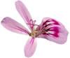 SRF flower